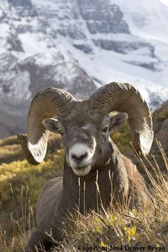Rocky Mountain bighorn sheep (ram).