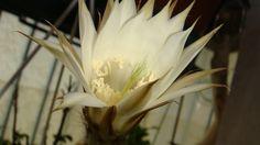 Succulent flower 2 -by Gianni Del Bufalo