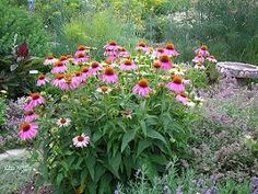 Purple coneflower: blooms mid-summer to frost, especially if the faded blooms are picked off. Leave some to go to seed in late fall to have seed pods for winter interest.