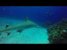 Shark Feed at Split Coral Head - Blackbeard's Cruise 9/16/2015 - YouTube