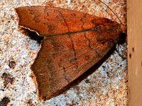 Hibiscus Leaf Caterpillar Moth