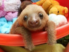 Baby sloth in a toy pile <3