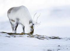 white-animals-snow-9
