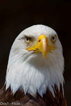 Eagle... Nature Animals, Animals And Pets, Beautiful Birds, Animals Beautiful, Eagle Pictures, Wolf, English Bull Terriers, Big Bird, Birds Of Prey