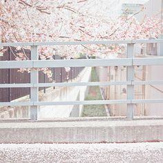 너에게 닿기를이 생각나는 벚꽃 사진