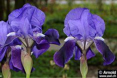iris | Iris germanica - Deutsche Schwertlilie