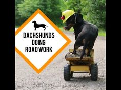 Dachshunds Doing Road Work - Cute Construction Worker Dachshunds! - YouTube