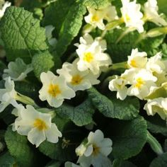 wild primroses in England - Google Search