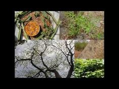 Medicinal Rice P5O Formulations for Eriocaulon Excess: Pankaj Oudhia's M...