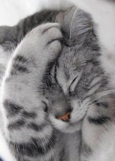 31 Cute Cat Pictures — Adorable Kitten Cats are naturally mischievous animals and very adorable creatures. If you own a cat, you will have a cuddle buddy Cute Cats And Kittens, I Love Cats, Crazy Cats, Kittens Cutest, Ragdoll Kittens, Tabby Cats, Bengal Cats, Hairless Cats, Kittens Meowing
