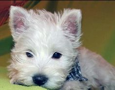 Puppie from Comunidad Westie