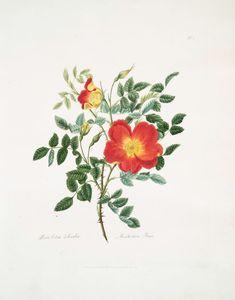 Rosa lutea-bicolor = Austrian rose. From New York Public Library Digital…
