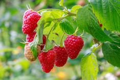 Raspberries are a wonderful addition to any garden. If you can have raspberries in your garden, you should. Click this article to learn more about growing raspberries in zone 8 and the best raspberry varieties for zone 8 gardens. Growing Succulents, Growing Roses, Succulents Garden, Growing Plants, Texas Gardening, Gardening Zones, Gardening Tips, Flower Gardening, Zone 8 Plants