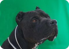 URGENT! AT HIGH KILL DOWNEY SHELTER! Pictures of HECTOR a Pit Bull Terrier Mix for adoption in Pasadena, CA who needs a loving home.