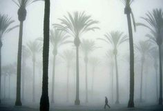 palm trees in fog..