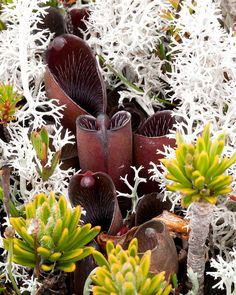 "Heliamphora pulchella, Marsh or Sun Pitcher Plant in habitat, tepui ""E"", Canaima National Park, Bolivar, Venezuela by Brad Wilson, DVM, via Flickr"