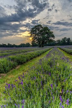 i'm going to grow some lavender one of these days. Lavenders Blue Dilly Dilly, Blueberry Plant, Uk Landscapes, Country Scenes, Down On The Farm, Felder, Wonderful Picture, Garden Trellis, Image Photography