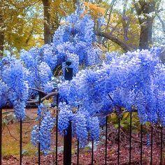 Blue Wisteria Seeds Flower Seeds Garden Flower by Greenworld1