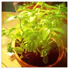 Basilikum på kjøkkenet, snart i hagen.