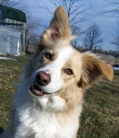 """Cobain is a registered purebred Border Collie. He is yellow and white (also known as """"Australian Red"""")."""