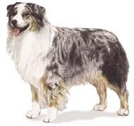 This dog looks almost like Freddy, our Australian Shepard we had for 17 years, RIP. I want one just like him.. and it has to have the same color markings, brown eyes not blue