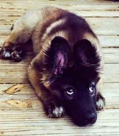 Nova the German Shepherd Mix-What you talkin about! #germanshepherd