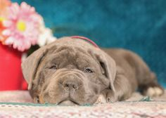 💛🐶Come meet Wilbur! He is a very #inquisitive, #lovable, little #CaneCorsoItalianMatsiff puppy. If you are looking for the #perfectpuppy to complete your family, Wilbur is just the one for you! #Charming #PinterestPuppies #PuppiesOfPinterest #Puppy #Puppies #Pups #Pup #Funloving #Sweet #PuppyLove #Cute #Cuddly #Adorable #ForTheLoveOfADog #MansBestFriend #Animals #Dog #Pet #Pets #ChildrenFriendly #PuppyandChildren #ChildandPuppy #LancasterPuppies www.LancasterPuppies.com Cane Corso Puppies, Cane Corso Dog, Animals Dog, Cute Baby Animals, New Puppy, Puppy Love, Italian Mastiff Puppies, Bernedoodle Puppy, Lancaster Puppies