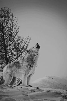 Wolf song                                                                                                                                                                                 More