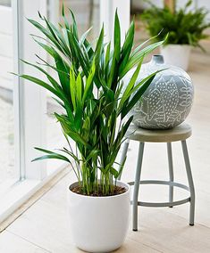The best air purifying plants that are super low maintenance and hard to kill. According to NASA, these types of houseplants ( ex: gerbera daises, snake plants, peace lily, boston ferns, and more) are great for indoors to clean the air. Place anywhere inside your home as decor like bedrooms, bathroom and kitchen or at the office. Many need only low light and are also pet safe. Areca Palme, Palmier Areca, Big Plants, Low Light Plants, Inside Plants, Green Plants, Tropical Plants, Cool Plants, Palm Plants