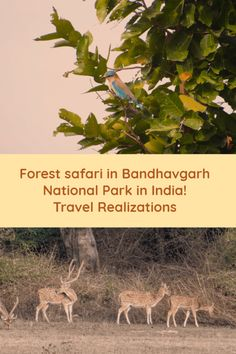 An enchanting forest safari in Bandhavgarh National Park in India. It was an exciting forest safari in Bandhavgarh national park in Madhya Pradesh. We were greeted by a melodious bird song. Travel Tips, Travel Destinations, Travel Plan, Amazing Nature, Incredible India, Madhya Pradesh, Photo Essay, Travelogue, India Travel