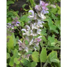 Salvia, Flowers Nature, Plants, Products, Shade Perennials, Fruit And Veg, Sage, Plant, Gadget