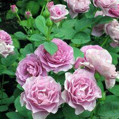 "~"" Terra Limburgia "" (ORYlila) - Floribunda rose - None to mild fragrance - Jozef Orye (Belgium), 2004"