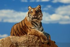 tiger and blue sky