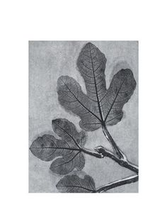 Print Fig charcoal
