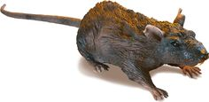 At $25.09 this radio controlled rat will scare the pants of the Misses!