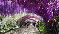 El túnel de wisteria, en el jardín botánico de Kawachi Fuji. En Kitakyushu, Japón.