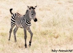 """""""If you hear hoofbeats, think horses, not zebras."""" Neuroendocrine tumors can be considered medical zebras. To bring about greater awareness of these rare diseases, the Florida Carcinoid Support Group is once again offering a beautiful zebra… Zebra Pictures, Animal Pictures, Beautiful Creatures, Animals Beautiful, Zebra Print Wallpaper, Le Zoo, Cute Little Baby, Lil Baby, Parcs"""