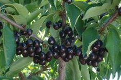 Ark of Taste : Black Republican Cherry : Slow Food USA