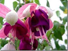 lindas flores brinco de princesa