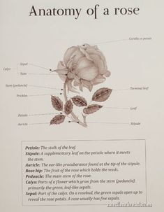 parts of a flower diagram 98 ford mustang wiring pin by dede turner on inspiration4 anatomy rose botanical print organza ribbon silk line drawings