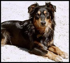 First pic I ever saw of a black and tan ES! English Shepherd, Australian Shepherd, Shepherd Dog, Collie Breeds, Dog Breeds, Like Animals, Baby Animals, Schaefer, Cute Creatures