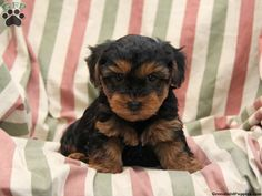 Emmy, Yorkie Poo puppy for sale in Christiana, Pa