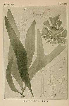 Japanese algae Vol. 3 | Biodiversity Heritage Library