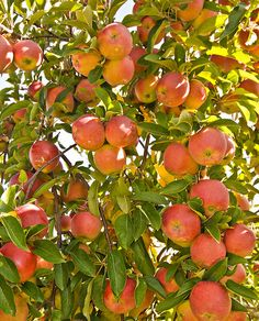 If you have space, a fruit tree would be nice. An apple tree bends under the weight of its autumn bounty. Fruit Plants, Fruit Garden, Garden Trees, Fruit Trees, Fruit And Veg, Fruits And Veggies, Fresh Fruit, Vegetables, Beautiful Fruits