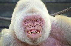 snowflake-gorilla-barcellona-zoo.jpg (1536×997)