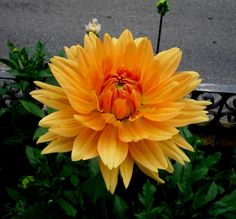 Dahlia amarillo oro.