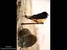 Μαύρα μου χελιδόνια - Αετόπετρα
