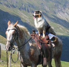 Horse and Australian Shepard's fly ball | Raven vit à la maison une retraite heureuse !!!