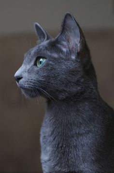 I really want one! Crossing my fingers that the day I can get a pet is sooner rather than later :) I miss having a furry friend. Russian blues are beautiful, affectionate, intelligent, and playful cats.