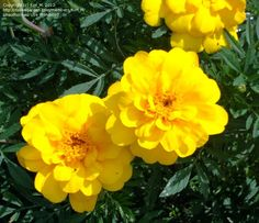 Image of Tagetes patula 	French Marigold 'Safari Yellow'